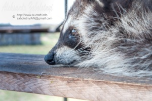 єнот полоскун, фотографії тварин