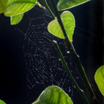 Павутина на лимоні з крапельками води в променях сонця